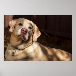 Labrador Retriever 2 Posters