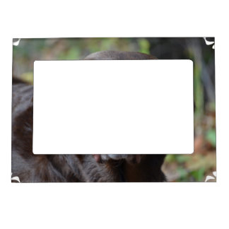 Labrador retriever adorable del chocolate marcos magneticos