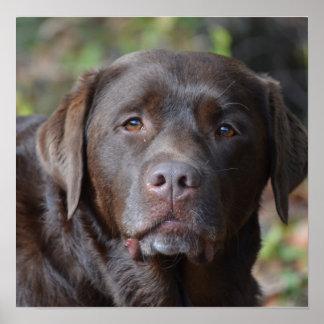 Labrador retriever adorable del chocolate póster