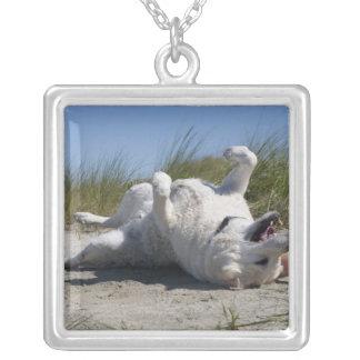 Labrador retriever amarillo collar plateado