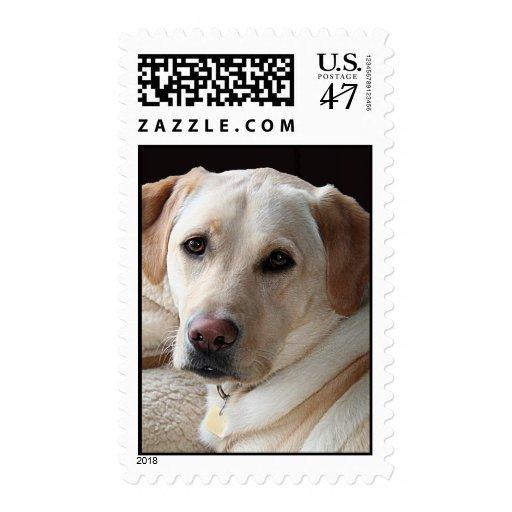 Labrador retriever amarillo sello