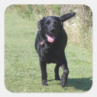 Labrador Retriever black dog, beautiful photo Square Sticker