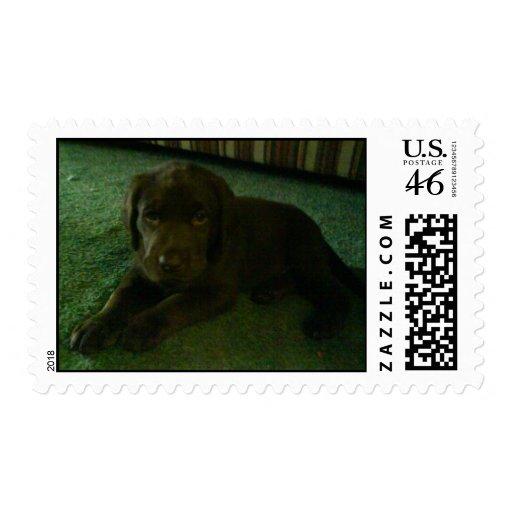 Labrador Retriever chocolate lab puppy Stamps