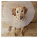 Labrador retriever con el cono alrededor de su cue azulejo cuadrado grande