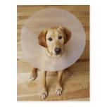 Labrador retriever con el cono alrededor de su tarjeta postal