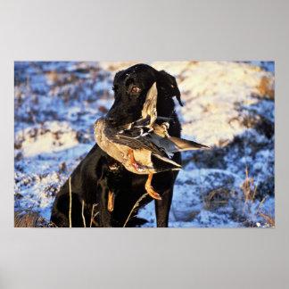 Labrador retriever con el pato silvestre de Drake Impresiones