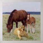 Labrador retriever con el poster de los caballos