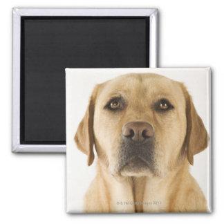 Labrador retriever de oro (familiaris del Canis). Imán Cuadrado