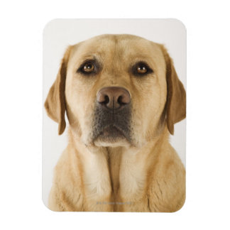 Labrador retriever de oro (familiaris del Canis). Imán De Vinilo