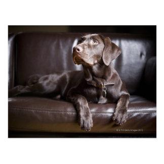 Labrador retriever del chocolate postal