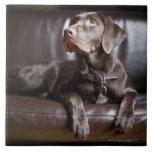 Labrador retriever del chocolate teja