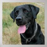 Labrador Retriever dog black poster, print, gift Poster