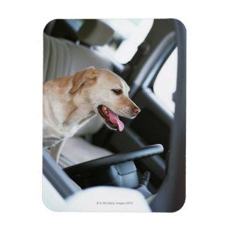 Labrador retriever iman flexible