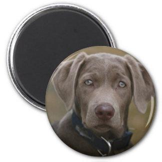 Labrador Retriever In Rare Light Silver Magnet