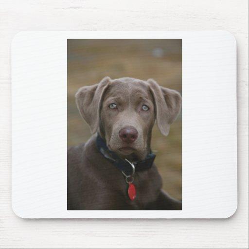 Labrador Retriever In Rare Light Silver Mouse Pad