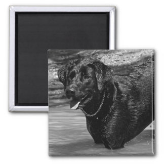 Labrador Retriever in Water 2 Inch Square Magnet