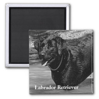 Labrador Retriever in Water Text 2 Inch Square Magnet