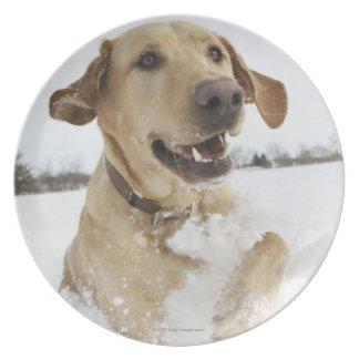 Labrador retriever jumping through deep snow dinner plate