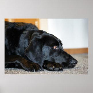 Labrador retriever negro posters