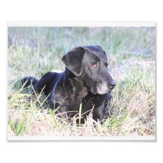 Labrador retriever negro impresión fotográfica