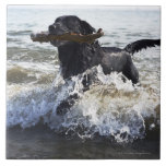 Labrador retriever negro que corre a través de la  teja cerámica