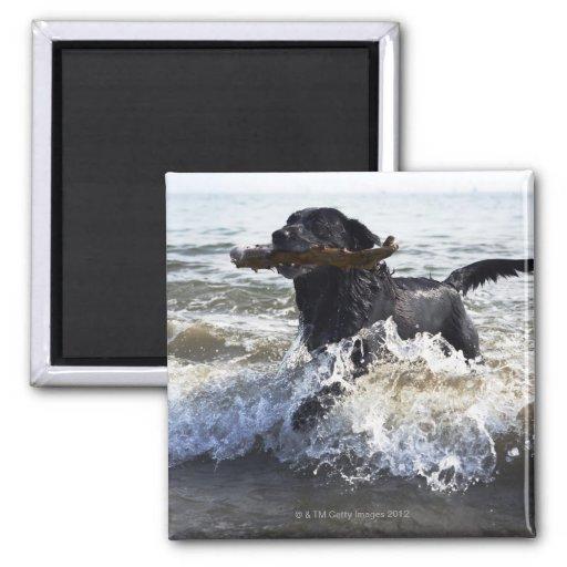 Labrador retriever negro que corre a través de la  iman para frigorífico