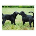 Labrador retriever negro tarjetas postales