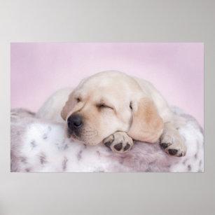 Labrador Retriever On Pink Poster