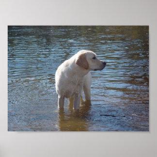 Labrador Retriever Poster At The Lake