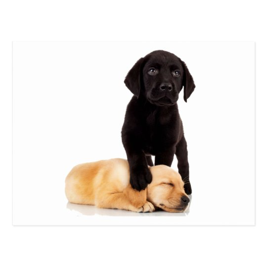 Labrador Retriever Puppies Playing Postcard