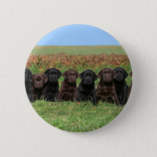 Labrador retriever puppy chocolate and black button