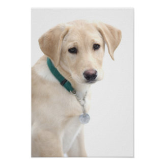 Labrador Retriever Puppy, MR) Poster