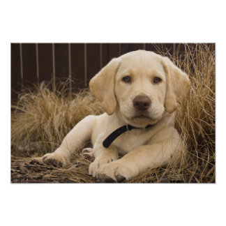 Labrador Retriever puppy Poster