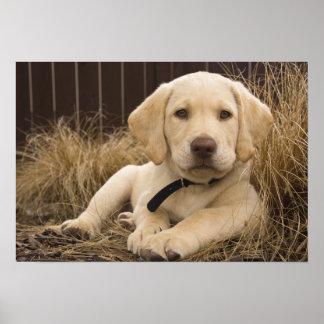 Labrador Retriever puppy Poster