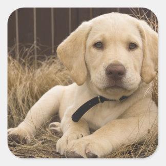 Labrador Retriever puppy Square Stickers