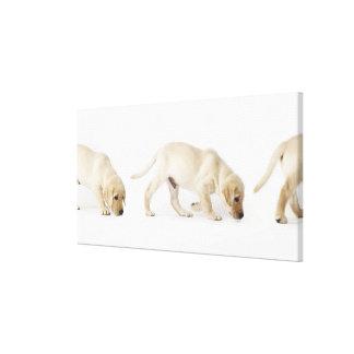 Labrador Retriever Puppy walking, montage Stretched Canvas Print