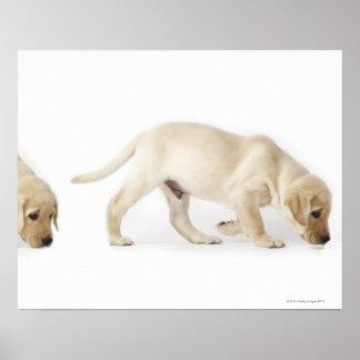 Labrador Retriever Puppy walking, montage Poster