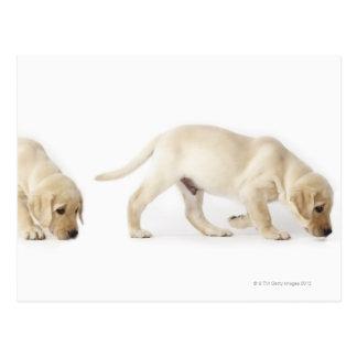 Labrador Retriever Puppy walking Postcard