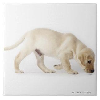 Labrador Retriever Puppy walking Tile