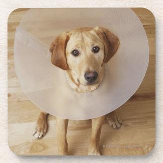 Labrador retriever with cone around his neck coaster
