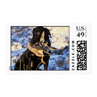 Labrador Retriever with Drake Mallard Postage
