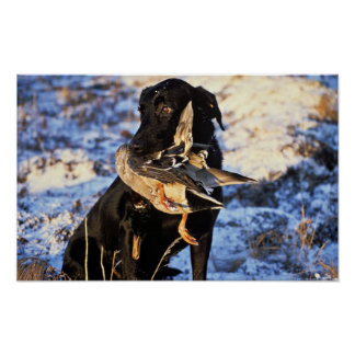 Labrador Retriever with Drake Mallard Poster