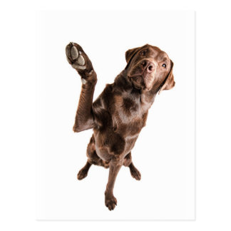 Labrador with a Big High Five Postcard