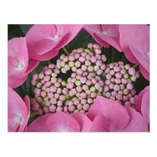 Lacecap Hydrangea Postcard