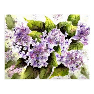 Lacecap Hydrangeas Postcard