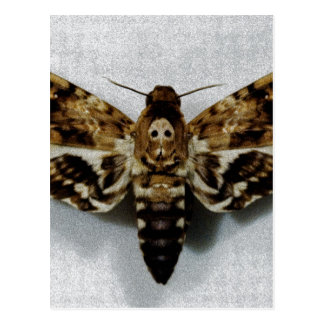 Lachesis del Acherontia de Hawkmoth de la cabeza Postal