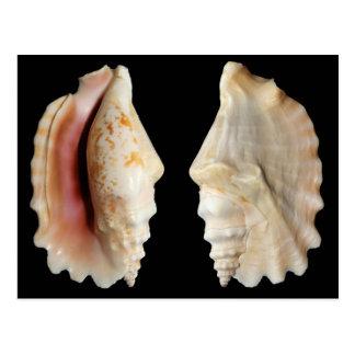 Laciniate Conch Postcard