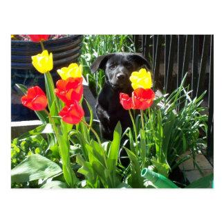 Lacquer Black German Shepherd Puppy Postcard