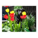 Lacquer Black German Shepherd Puppy Postcards