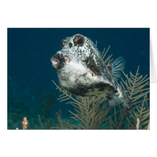 Lactophrys triqueter - Smooth Trunkfish Greeting Card